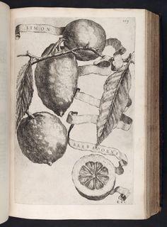 Image of 259 Illustration of LIMON BARBADORUS