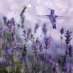 Hummer in the lavender...