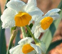 Narcissus tazetta v. orientalis (Narcissus Chinese Sacred Lily)  sweetly spicy and not musky scent like that of most paperwhites. For lucky gardeners in zones 8-10 these can also be successfully grown outdoors in flowerbeds.
