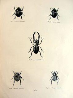 1860 antichi Stag beetle incisione, originale vintage stampa, coleotteri LUCANIDAE insetti scarabei carabidae entomologia piastra illustrazione.