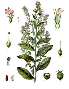 Lobelia Inflata - Smoking, Anxiety, Respiratory and Lymphatic Remedy
