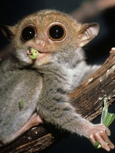The Philippine tarsier (Tarsius syrichta) is a petite, nocturnal primate that lives on a diet of insects. It is the first documented example of primate that communicates with purely ultrasonic frequencies. Credit: David Haring
