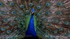 Animais/O cortejo mais bonito do reino das aves