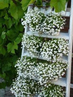 pots of lobelia on a ladder, looks like a waterfall!  Imagine it with a mixture of the white, with some of the light blue, and dark blue cultivars as well.  Can't wait for start of spring.