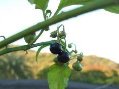 MI TECHO VERDE: Hierba mora (Solanum nigrum Linn)