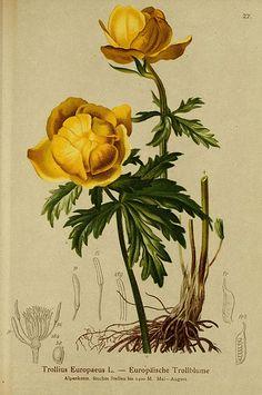 """Trollius Europaeus"" - Plate 27 from ""Atlas der Alpenflora"" by Anton Hartinger (1882)"