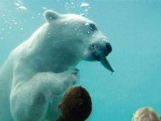 Blijdorp Zoo/Diergaarde Blijdorp Vicks de ijsbeer
