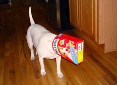 Where did all my milk bones go? #bullterrier