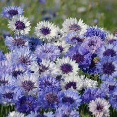 Blue tone strawflower