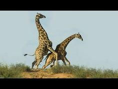 Giraffe Sex: A Terrifying Introduction to Nature at Work (and Play) | If you ever wondered about it, here it is in a very funny way