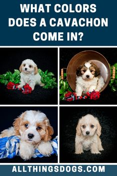The Cavachon colors are most commonly white with tan, apricot, red, brown and sometimes with black markings. Their parents' coats will be good guide to your specific pup's color. Read our breed guide to learn more about this cute pooch.  #cavachoncolor #cavachon #cavachonappearance Miniature Dog Breeds, Cavachon Puppies, Easiest Dogs To Train, Brown Dog, Bichon Frise, White Dogs, King Charles Spaniel, Beautiful Dogs, Dog Training