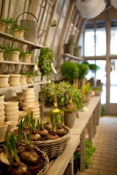 "Garbo Interiors in Stockholm ~ Potted pelargoniums are popular windowsill plants in Sweden, where they spend winters being coddled indoors; the national obsession is known as pelargonsjukan, which translates to ""pelargonic disease."" Paperwhites in Tuscan pots. Hyacinths in a row."