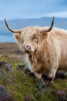 'Highland cattle' by Kristina Kuhfs. Scottish Highland Cow, Highland Cattle, Scottish Highlands, Beautiful Creatures, Animals Beautiful, Chat Munchkin, Newborn Christmas Pictures, Le Chihuahua, Farm Animals
