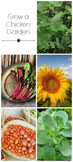 Save money on feeding chickens by planting these garden crops to supplement their feed.: