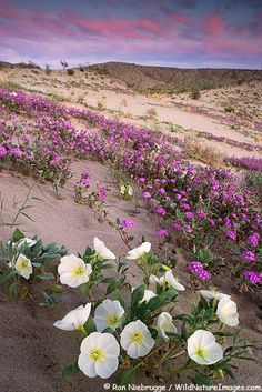 Desert Sand Verbena and Dune Evening Primrose bloom on the sand dunes of Anza-Borrego Desert State Park, California.