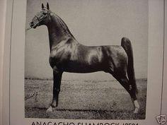 Anacacho Shamrock, sire of American Saddlebred super horse Wing Commander