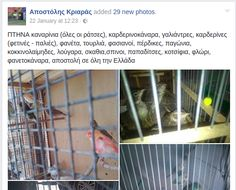 Το θράσος ενός πουλοπιάστη. Του κατασχέσανε τα άγρια πουλιά και λίγες ημέρες μετά ξανά πουλάει σε άφθονη ποσότητα.