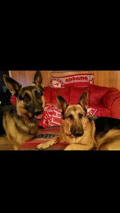 Marcantel German Shepherds (marcantelgsd) on Pinterest