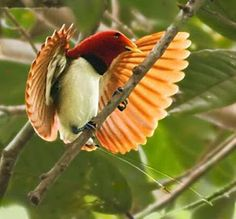 Beautiful King Bird of Paradise