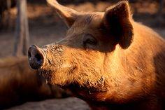 Tamworth (heritage breed pig)