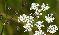 Health Benefits and Side Effects of Herb Anise (Pimpinella anisum) and the Modern and Traditional Uses of Its Seeds and Essential Oil in Herbal Medicine