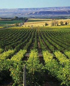 Napa Valley isn't the only idyllic spot for a wine-tasting vacation. Washington's Yakima Valley offers an alternative without the tour buses and traffic jams. Yakima Washington, Seattle Washington, Washington State, Pasco Washington, Yakima Valley, Napa Valley, Beautiful Places To Visit, Oh The Places You'll Go, Evergreen State