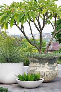 Coastal front garden design A variously sized group of pots containing (from left) century plant (Agave geminiflora), foxtail fern (Asparagus densiflorus 'Myersii') and a yellow frangipani (Plumeria acutifolia) underplanted with Dichondra 'Silver Falls' Asparagus Fern, Circular Lawn, Foxtail Fern, Sydney Gardens, Jardin Decor, Plantas Indoor, Coastal Gardens, Tropical Gardens, Small Gardens