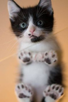 Hi, little cutie pie! Kitten with unusual black and white markings.