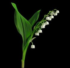 The lily symbolizes life to Pagans and the blooming of lily of the valley flower heralds the Feast of Ostara. Description from pinterest.com. I searched for this on bing.com/images