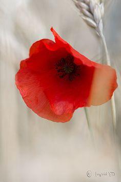 04fce7263012 Coquelicots, Tatouage Fleur, Fleurs, Peintures, Aquarelle, Tatouage De  Coquelicots, Fleurs