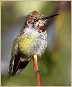 "IMG_3179s-001 by winnu on Flickr.        Anna""s humming bird  IMG_3179s-001 by winnu, via Flickr"