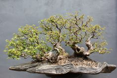 The response for trees for the exhibition has been huge, I have contacted many artists, patrons and collectors to show their trees at Bonsai Europa 2015, we are over 75 trees and still 12 months be...