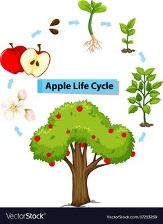 Plant Life Cycle Diagram For Kids - Science Posters - life cycle of an apple tree - A flowering plant - Plants life cycle stages Sunflower Life Cycle, Cycle For Kids, Life Cycle Stages, Apple Life Cycle, Weather Worksheets, Apple Illustration, Planting For Kids, Apple Vector, Sequencing Activities