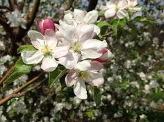 Apple blossom blooms and flowers. Sky Top Orchard. Flat Rock, NC