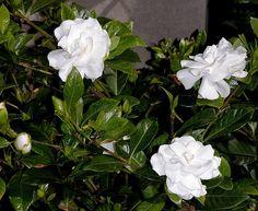 Gardenia augusta [Jasminoides] Jasmine, Cape jessamine