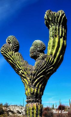 #Baja #Mexico has some of the most weird cactus in the world! amazing ;)