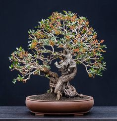 BONSAI Pistacia in bloom, 3/2014 More in our gallery: http://www.animabonsai.com/?p=1312
