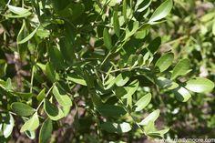 Texas Mountain Laurel Plants - Flowering Shrubs for the Desert Southwest Garden - SunGardensInc.com