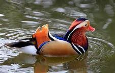 Mandarin Duck (Aix galericulata) - Bing Images