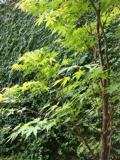 JAPANESE MAPLE & FICUS PUMILA VINE in secret garden. RS McDANNELL