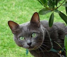 Rare cat breeds and Breed information - Korat Cat