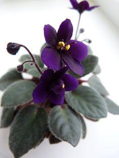 Diet Cola •  G.Boone • Semi-miniature • Semidouble dark purple. Dark green, plain.