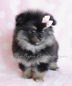 ideas about Teacup Pomeranian Puppy on Pinterest