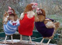 Trendy chickens