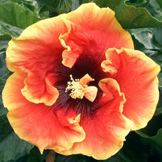 """Flickering Flame"" Hibiscus"