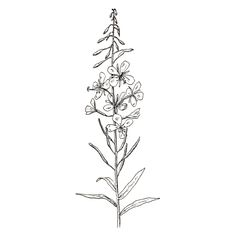 Fireweed (free graphics) |