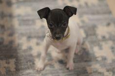 shore Fun Dog, Best Dogs, Pitbulls, Terrier, Japanese, Animals, Animales, Japanese Language, Animaux