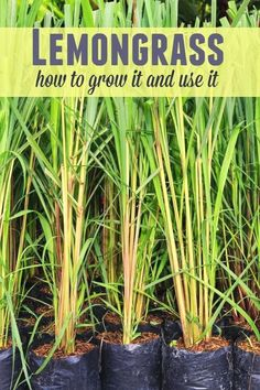 Lemongrass is a fabulous addition to your recipes and surprisingly easy to grow! You can even propagate it from cuttings. Learn how to grow and use lemongrass at your home. #GardeningIdeas