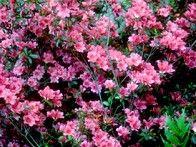 #azalearhododendron #zone9flower #flowercentralflorida