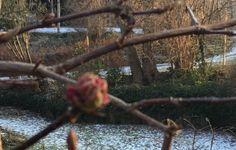 die dicke Knospe zeigt in wenigen Tagen/Stunden rosa Blüten